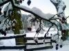 Winter 2009/2010 Querfurt Blick auf die großen Fichten
